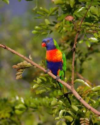 rainbow-lorikeet-parrot-colourful-bird-53104.jpeg