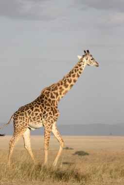 brown giraffe walking on brown grass
